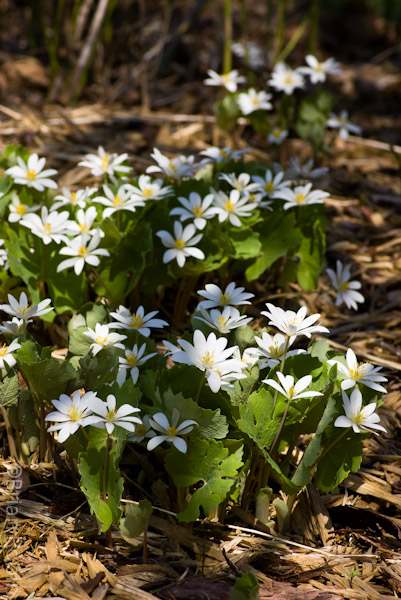 Clump of Bloodroot