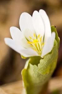 Bloodroot Bloom