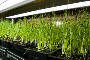 Photo of onion seedlings under grow lights