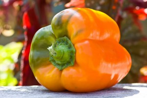 Orange bell pepper with a blush of green