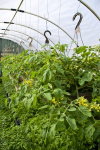Photo of greenhouse filled with tomato plants