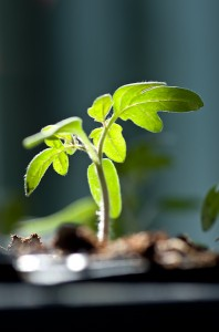 Photo of small back lit tomato seedling.